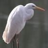 Airone bianco maggiore (Casmerodius albus)