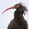 Ibis eremita (Geronticus eremita)