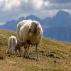 Pecora con agnello