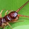 Centipede (Eupolybothrus sp.)