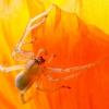 Ragno su papavero