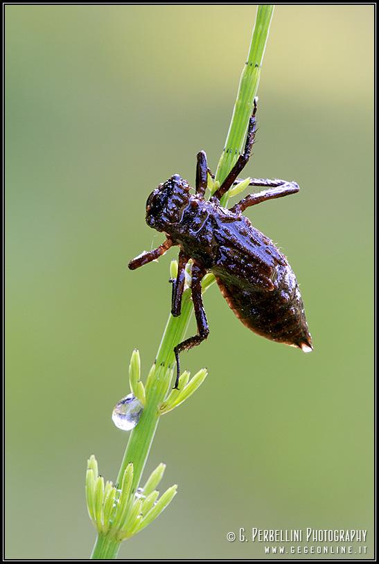Ninfa di libellula quadrimaculata