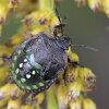 Ninfa di cimice verde (Nezara viridula)