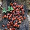 Colonia di cimici rossonere (Pyrrhocoris apterus)