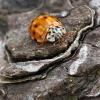 Coccinella (Harmonia quadripunctata)