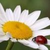 Coccinella comune