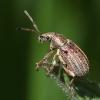 Curculionide (Phyllobius piri)
