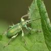 Curculionide (Phyllobius sp.)