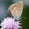 Licenide (Aricia agestis)
