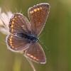 Licenide (Polyommatus sp.)