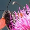 Falene diurne (Zygaena sp.)