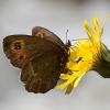 Ninfalide (Erebia aethiops)