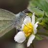 Farfalla pieride (Leptidea sinapis)