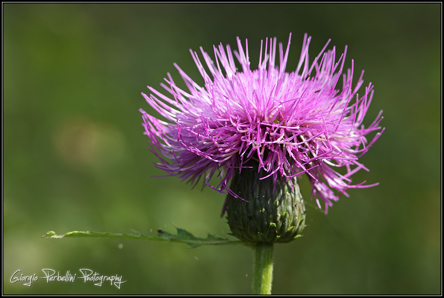 Cardo (Cirsium sp.)