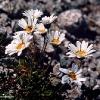 Crisantemi alpini (Leucanthemopsis alpina)