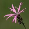 Fior di cuculo (Lychnis flos-cuculi)