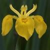 Giaggiolo acquatico (Iris pseudacorus)