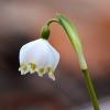 Campanellino (Leucojum vernum)
