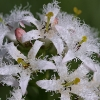 Trifoglio fibrino (Menyanthes trifoliata)