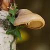 Poliporo con edera