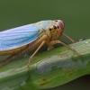 Cicadella (Cicadella viridis)