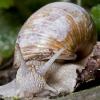 Chiocciola (Helix pomatia)