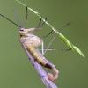 Mosca scorpione (Panorpa sp.)