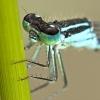 Damigella (Ischnura elegans)
