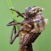 Exuviazione di Libellula quadrimaculata