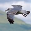 Gabbiano reale nordico (Larus argentatus) in volo