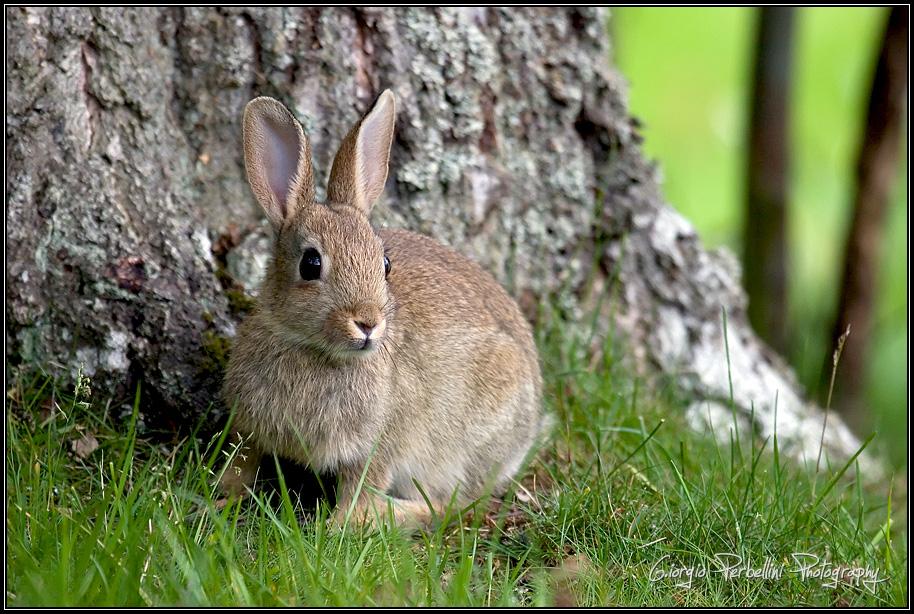 Coniglio selvatico (Oryctolagus cuniculus)