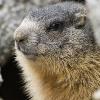 Marmotta (Marmota marmota)