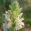 dactylorhiza_sambucina_01