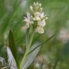 dactylorhiza_sambucina_04