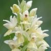 dactylorhiza_sambucina_06