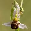 ophrys_apifera_04