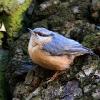 Picchio muratore (Sitta europaea)