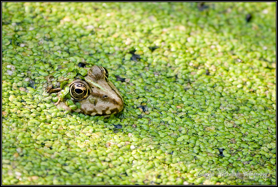 Rana verde (Rana lessonae)