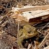 Rospo comune (Bufo bufo) nel canneto