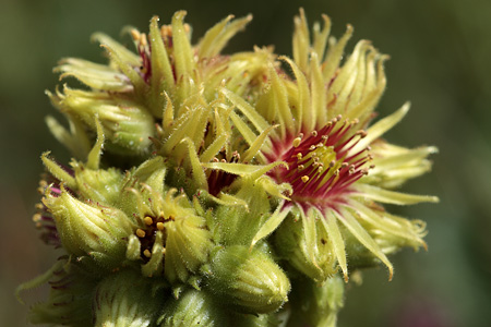 Semprevivo giallo (Sempervivum wulfenii)