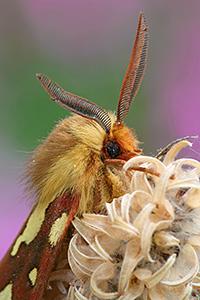 maschio di Hyphoraia testudinaria