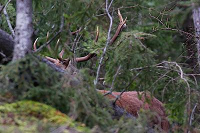 Le corna di un maschio spuntano tra i rami degli alberi