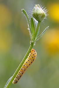 Larva di vespa